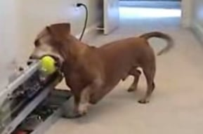 Dachshund Plays Fetch With a Ball Throwing Machine
