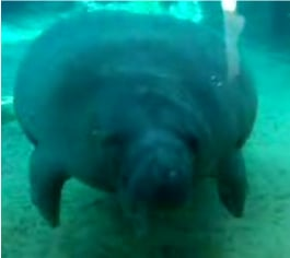 How Much Is That Manatee In The Window?