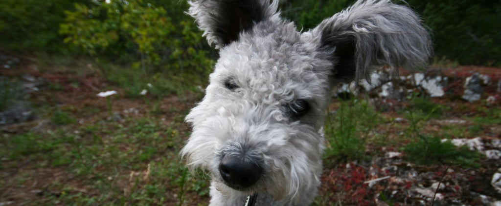 AKC Adds Pumi to Lengthy Roster of Breeds