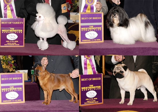 2008 Westminster Winners: Toy Group