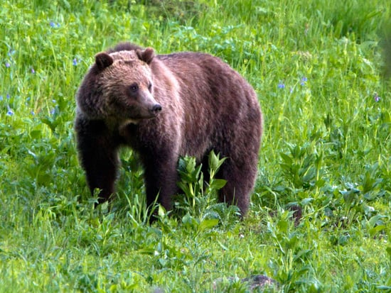 Alaskan Grizzly Bear Will Be Killed After Attacking One Hiker and Charging Several Other Groups of Hikers, Officials Say
