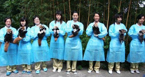 Eight Red Pandas Doing Great!