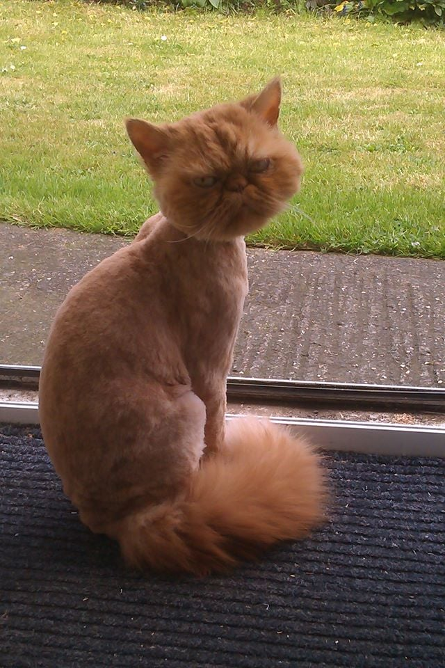"""The hot weather is coming, so my friend took his cat for a haircut."" Source: Reddit user best via Imgur"