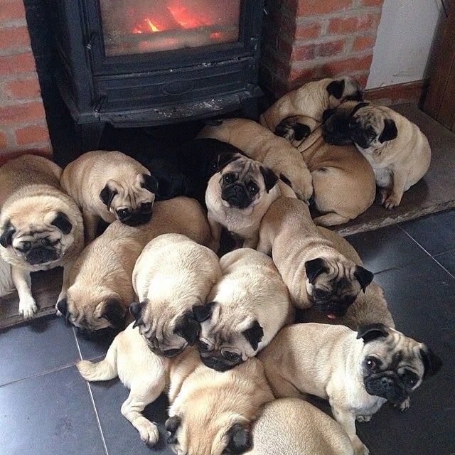 A Group of Pugs Is Called a Grumble