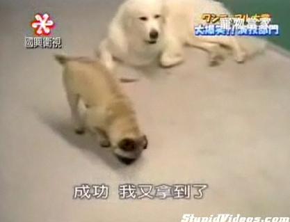 Cute Alert: Sneaky Pug