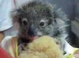 Cute Baby Koala Loves Her Blankie