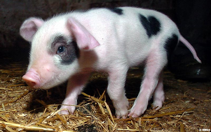 Cute Piglets Names Piglet Born With Cute Heart