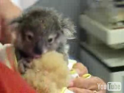 Cute Alert: Baby Koala Eatin' Some Eucalyptus