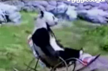 Panda Just Relaxing in a Rocking Chair