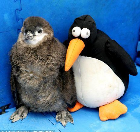 Cute Alert: Baby Penguin's BF Is a Stuffed Penguin!