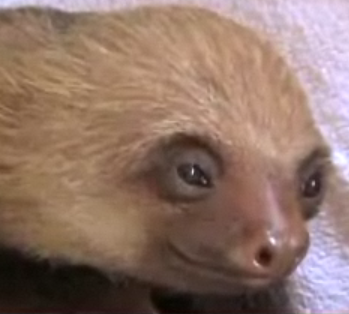 Cute Alert: Sloth Has One Serious Itch