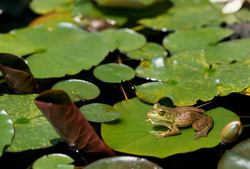 The Scoop: Putting Frog Genes on Ice
