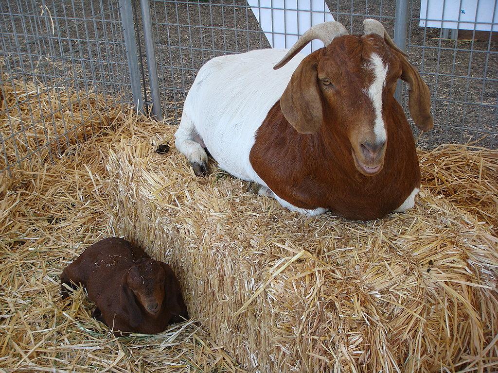 Hey, Baby Goat!