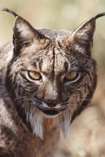 The Iberian Lynx