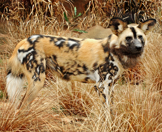 Out and About: African Wild Dogs Come to LA