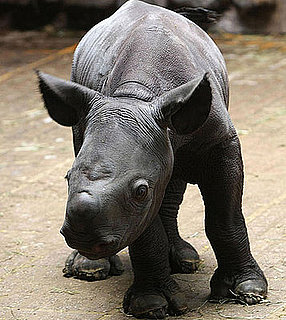 This Rhino Cutie Is Only One Day Old!