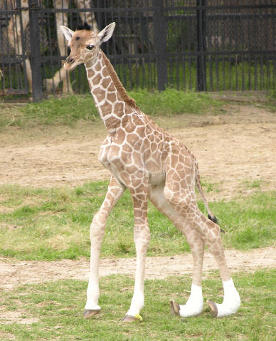 The Scoop: Baby Giraffe With Rare Medical Condition Dies