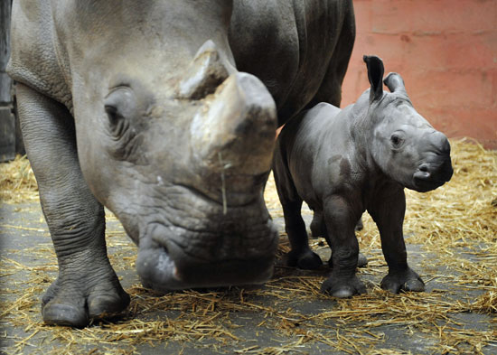 White Rhino, Keyah, Born at Cerza Zoo in France