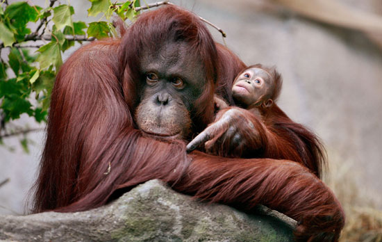 The Scoop: Rare Bornean Orangutan Born at Brookfield Zoo