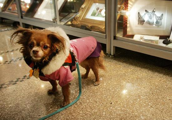 7. Chihuahua