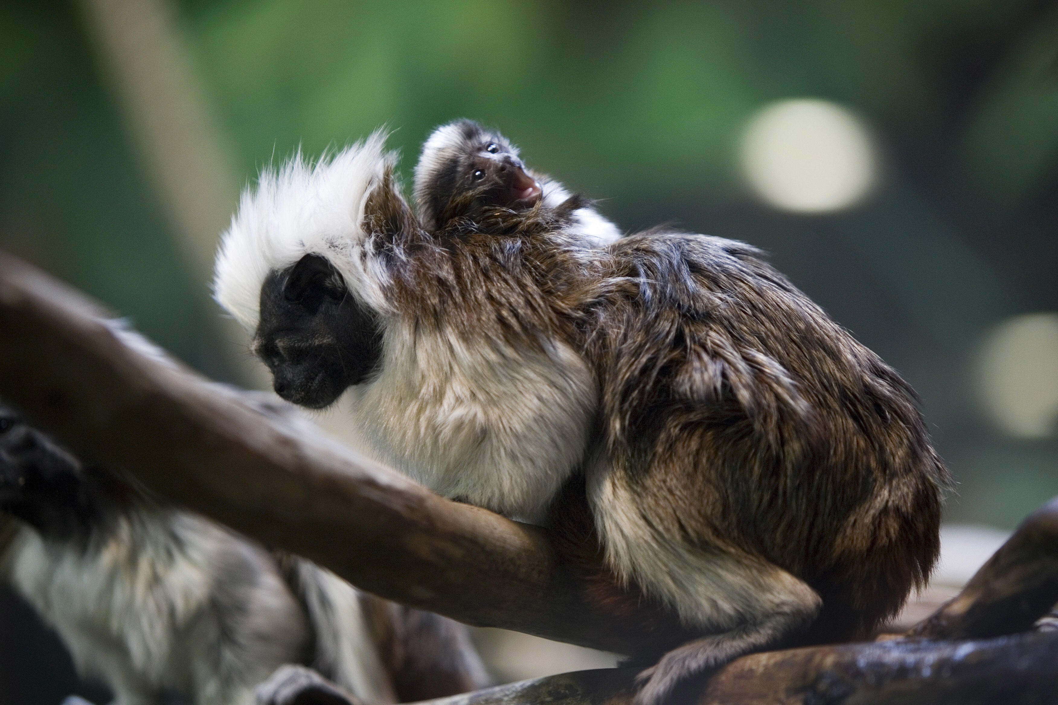 Cottontop tamarin baby masters cute in just two weeks time popsugar
