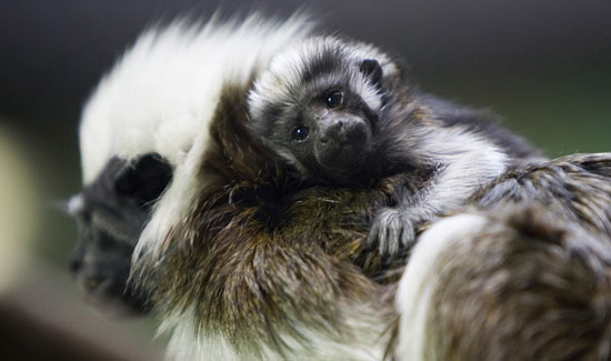 Cottontop Tamarin Baby Masters Cute in Just Two Weeks' Time