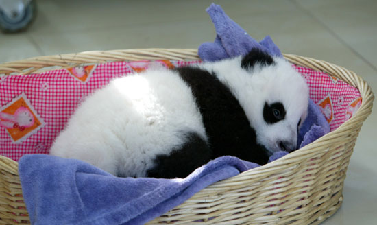 Nothing Brings on Giant Grins Like Baby Giant Pandas!