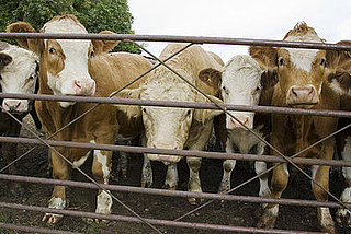 Study Shows Cow Herds Face North