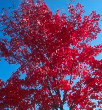 Fall Garden: Scarlet Jewell Maple