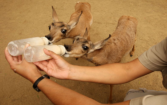 These Zoo Babies Walk Within 30 Minutes and Outrun Humans at Four Days