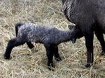 Cute Alert: Sheep Shenanigans