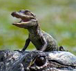 Cute Alert: Baby Gator