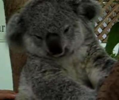 The Tickle Me Koala!