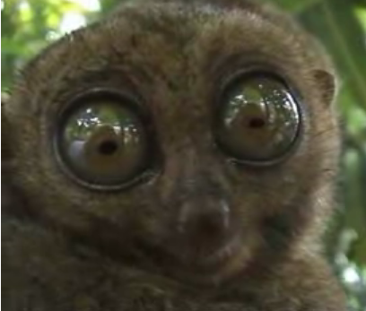 Wide-Eyed Lemur Takes a Look