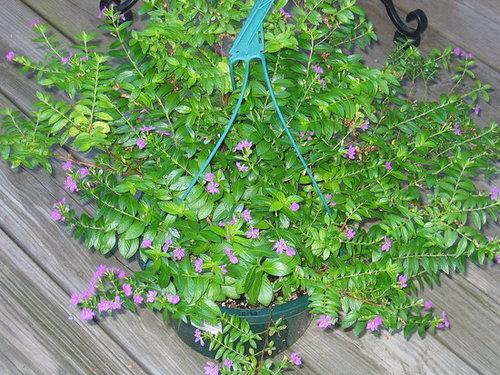 Mexican Heather - A Pretty Plant for Full Sun
