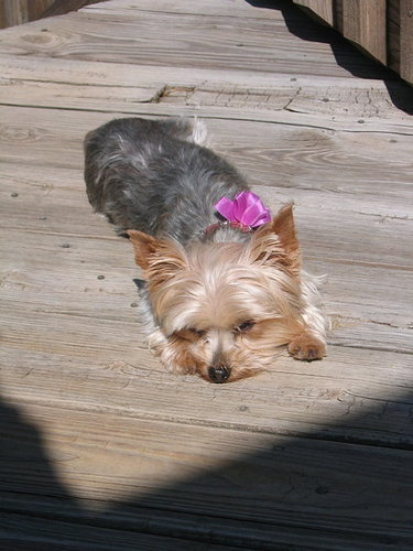Maria, the Yorkie, Napping in the Sun!