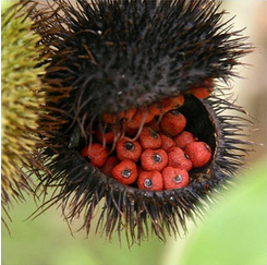Annatto:  It's in My Food, But What is it?