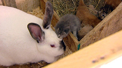 Rabbit Mom Adopts Six Orphaned Kittens (PHOTO)