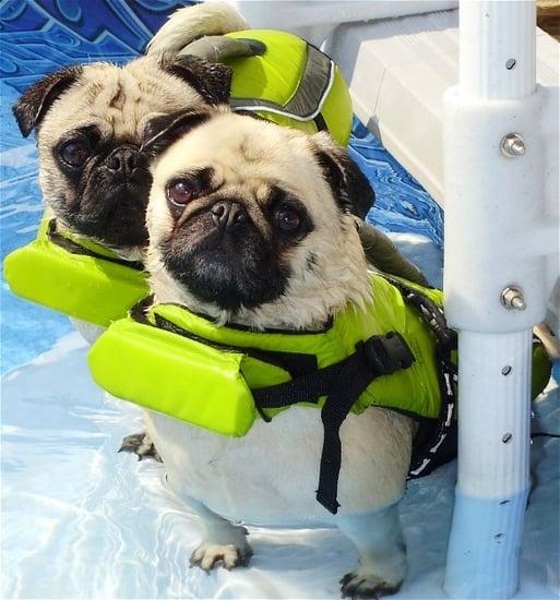 Pool Pugs