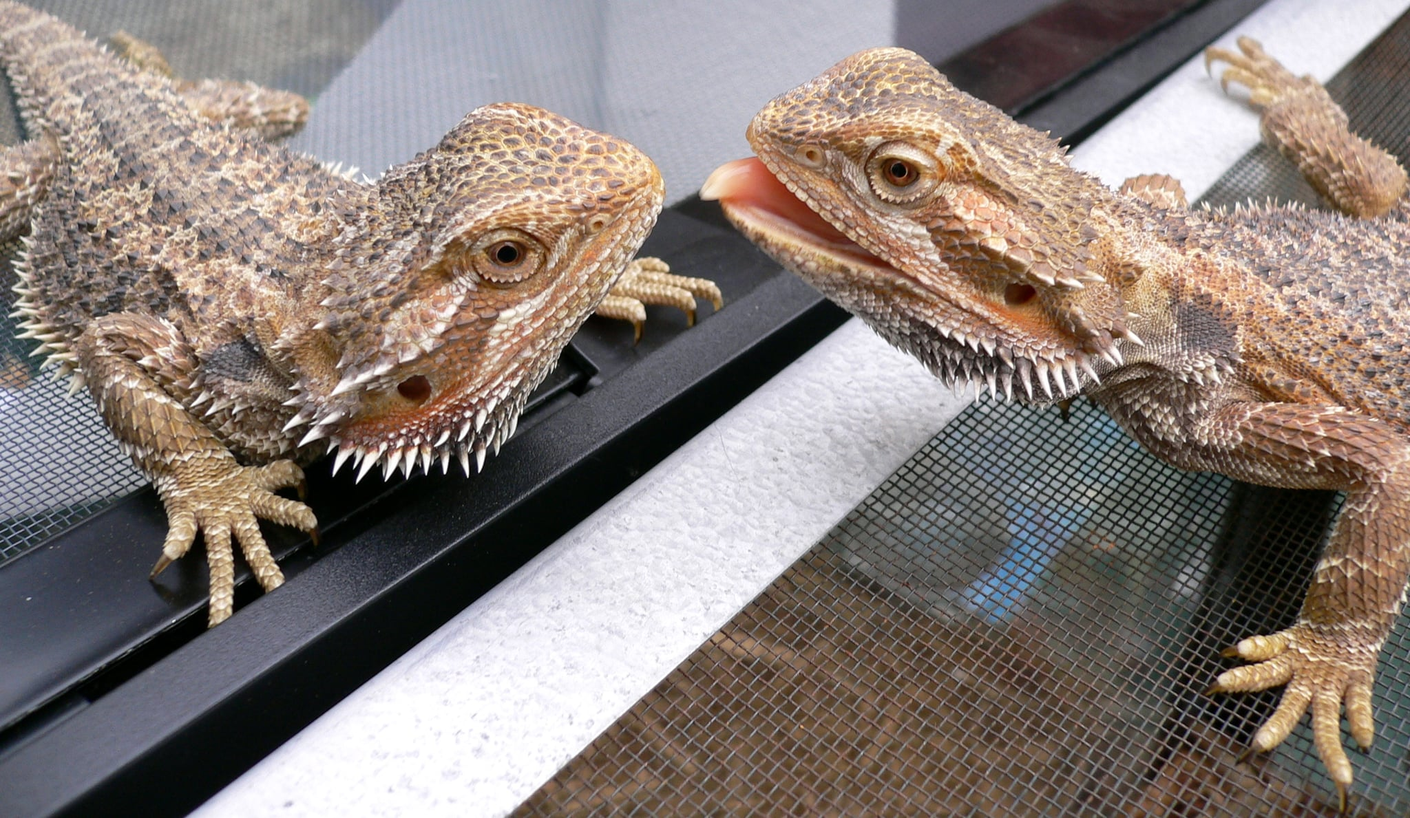 Bearded Dragon Facts | POPSUGAR Pets