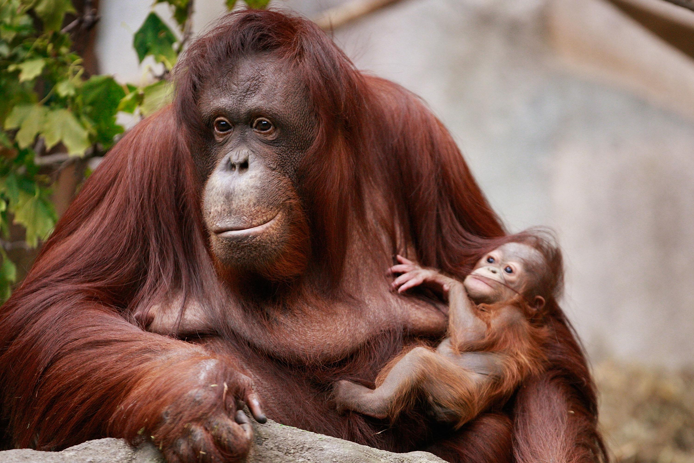 Bornean orangutans baby - photo#5